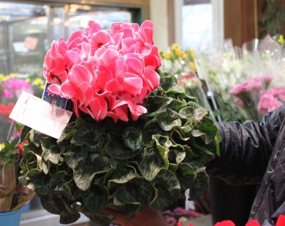 いわき市小名浜の花屋花国のお花 シクラメン