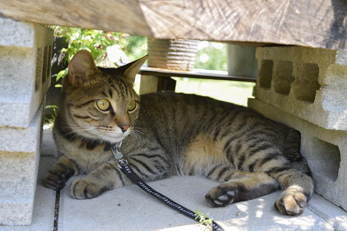 花を置いている台の下から遊歩道を眺めるキジトラ猫の虎ノ介