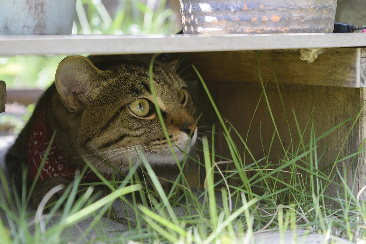 花を置いている台の下から庭を眺めるキジトラ猫の虎ノ介