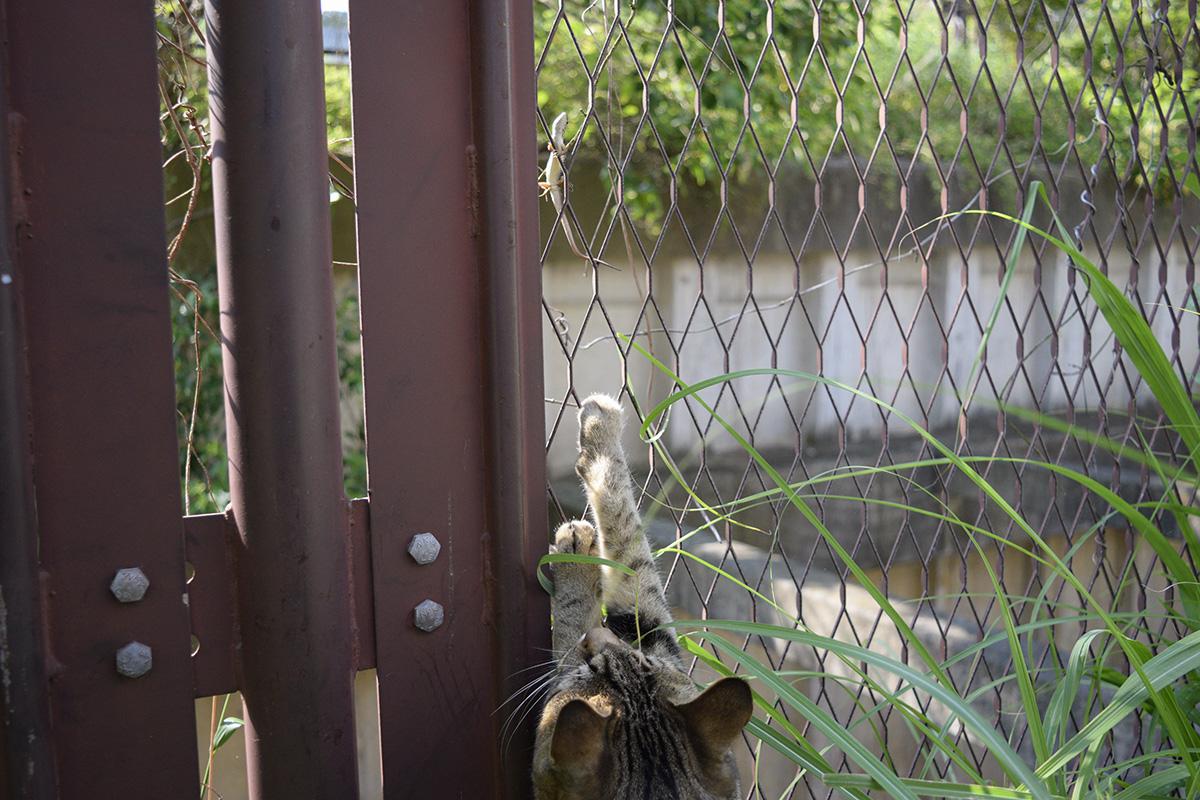 カナヘビに手を伸ばすキジトラ猫の虎ノ介