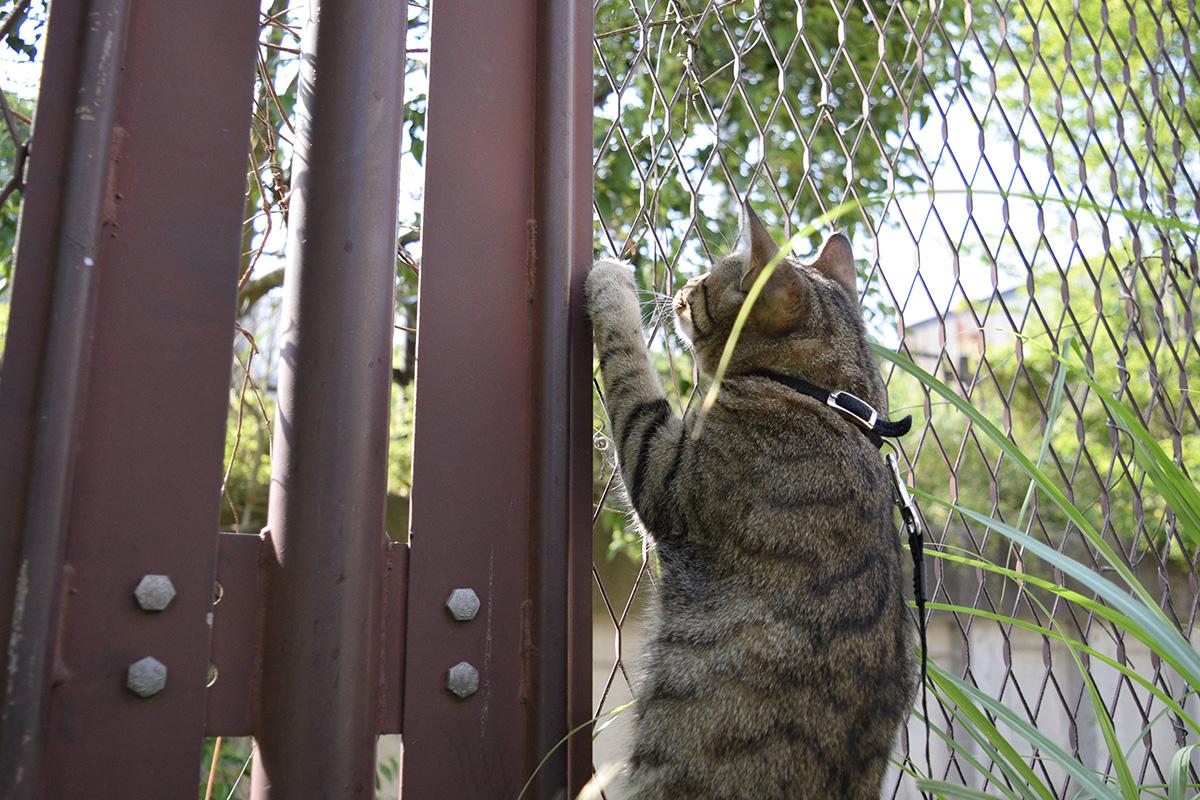 カナヘビに飛びかかるキジトラ猫の虎ノ介