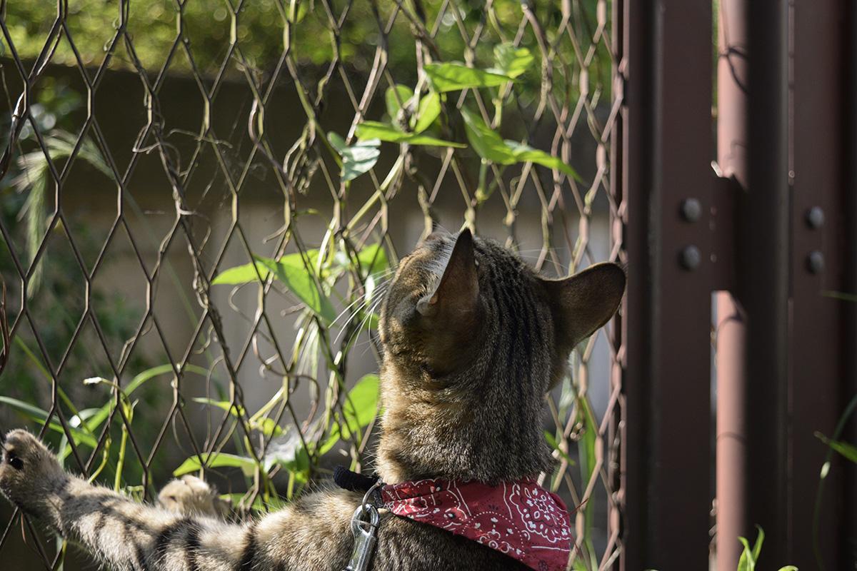 フェンスに絡まる蔓がカナヘビに見えるキジトラ猫の虎ノ介