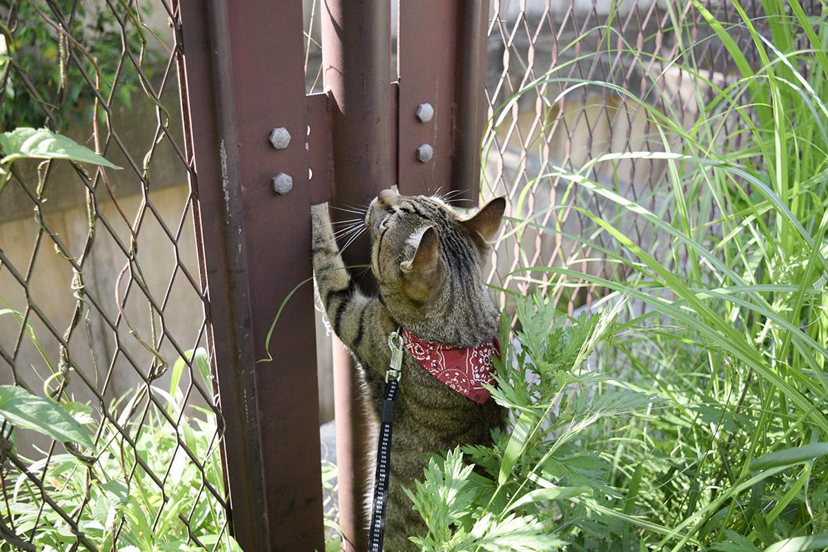 フェンスを見上げるキジトラ猫の虎ノ介