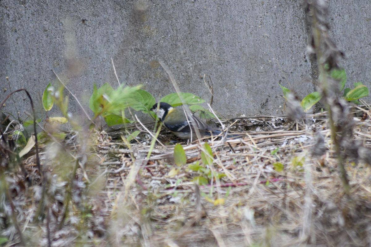 草に隠れて虫をついばむ鳥