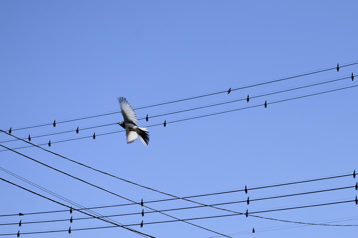 キジトラ猫の虎ノ介の目の前を飛びながら横切る鳥
