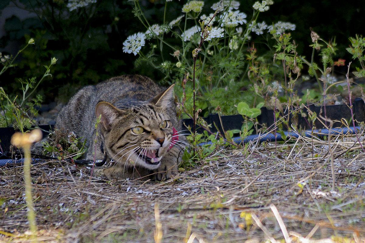 鳥にむかって吠えるキジトラ猫の虎ノ介
