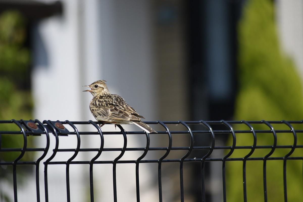 隣の家のフェンスの上でくつろぐ鳥