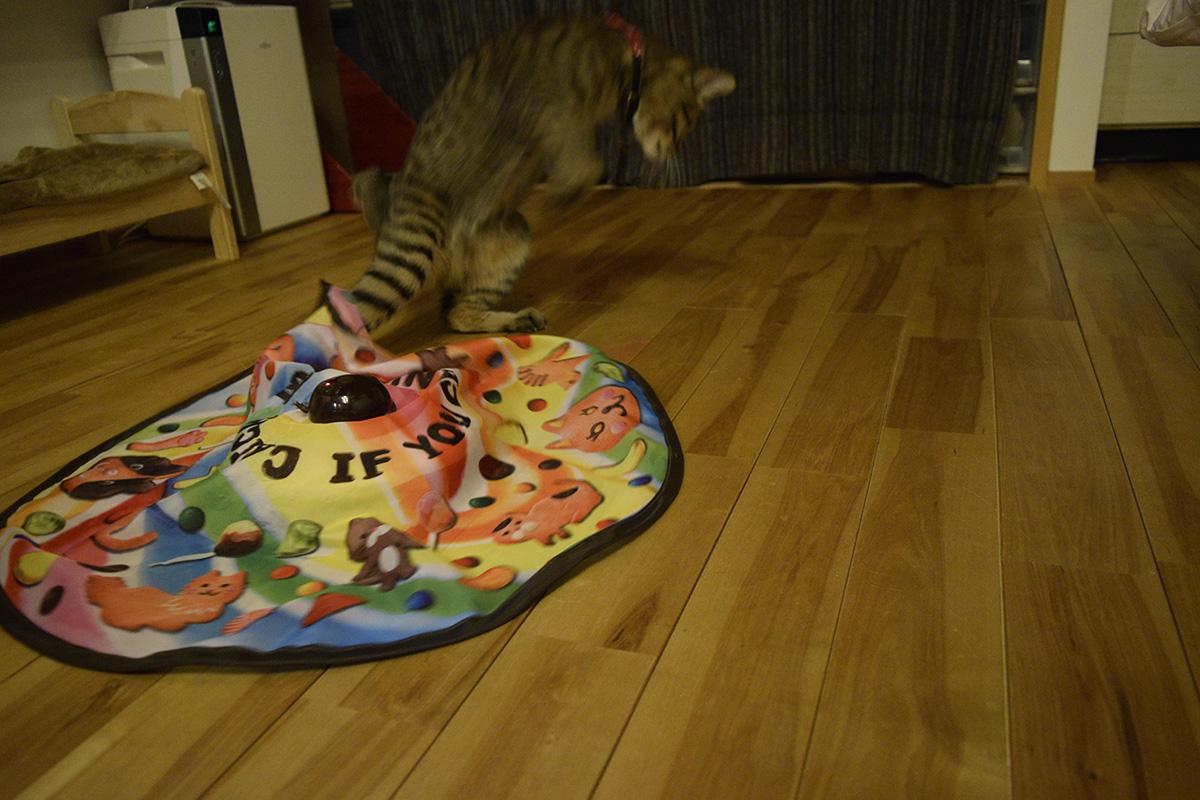 キャッチミーイフユーキャンで遊ぶキジトラ猫の虎ノ介がおっさんくさい