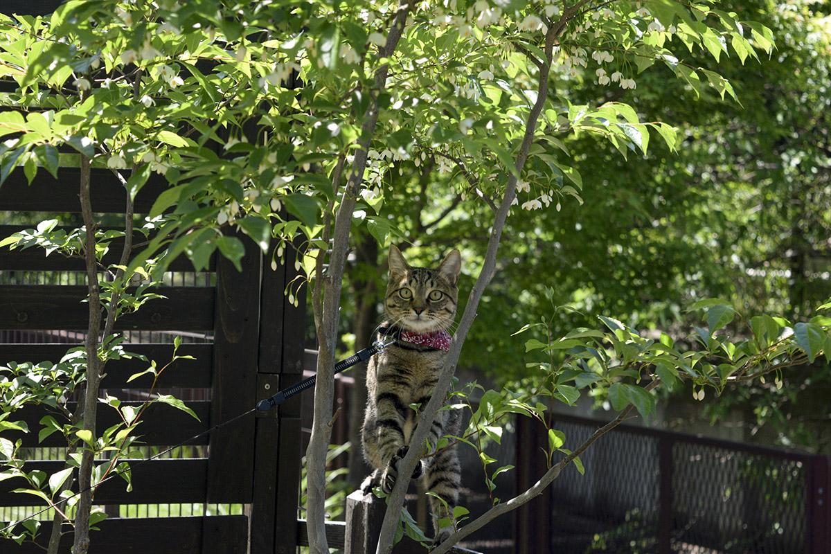 木の間から視線を向けるキジトラ猫の虎ノ介
