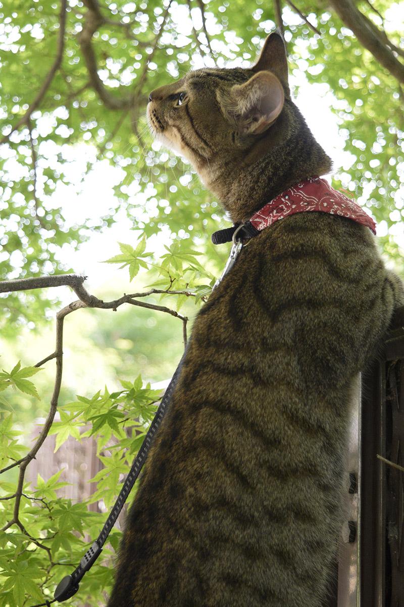 背景のもみじに映えるキジトラ猫の虎ノ介