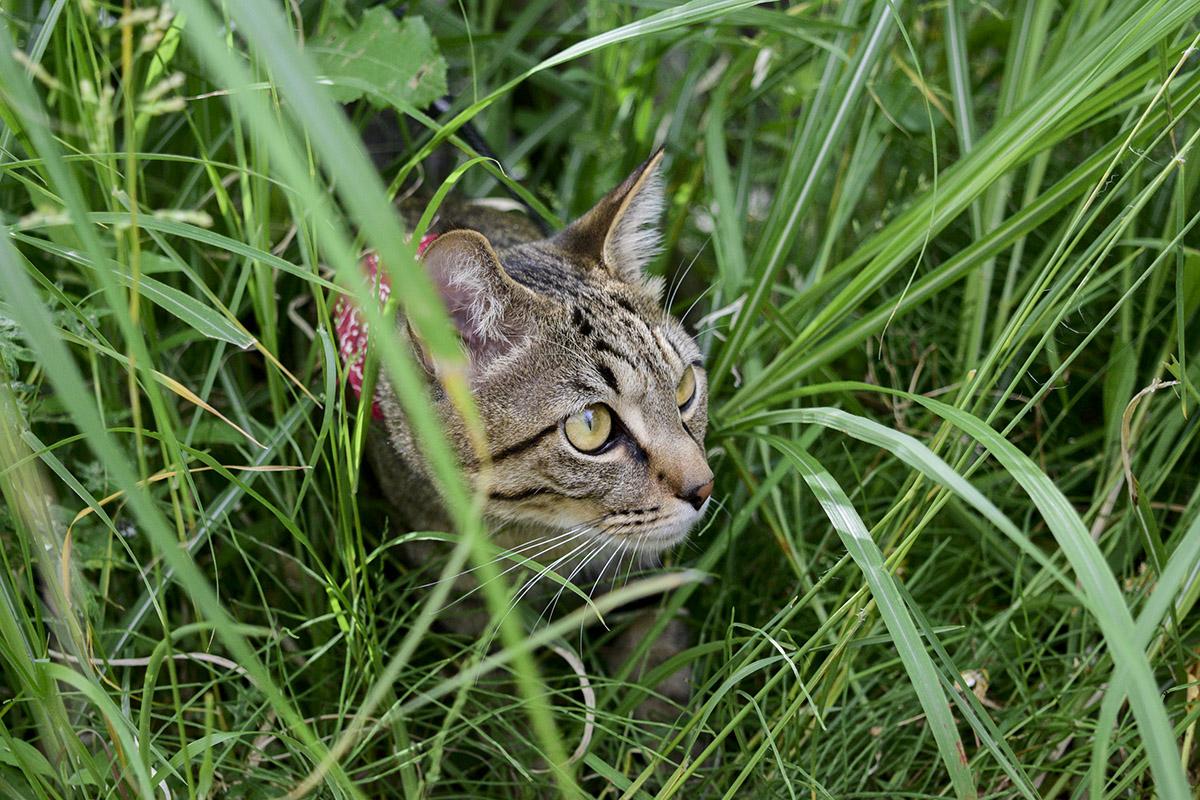 草むらに潜むキジトラ猫の虎ノ介