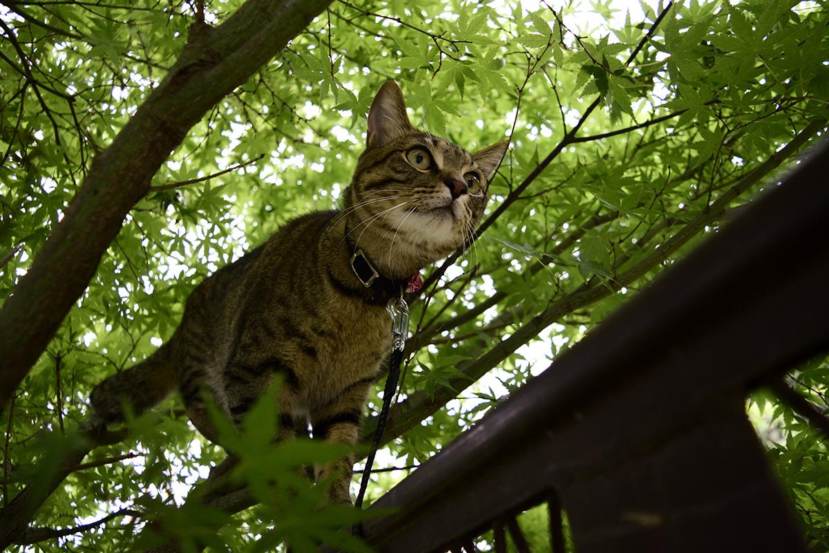 フェンスの上に乗るキジトラ猫の虎ノ介