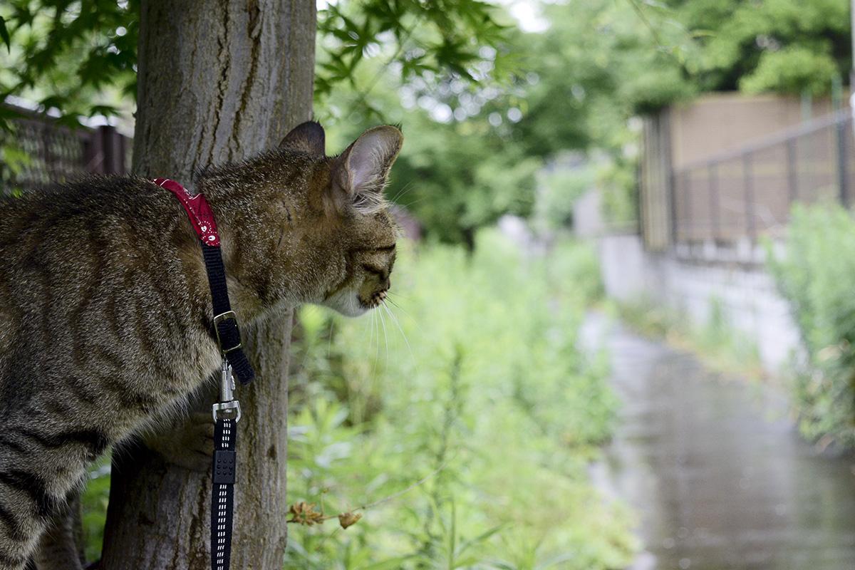 木の下で雨宿りするキジトラ猫の虎ノ介