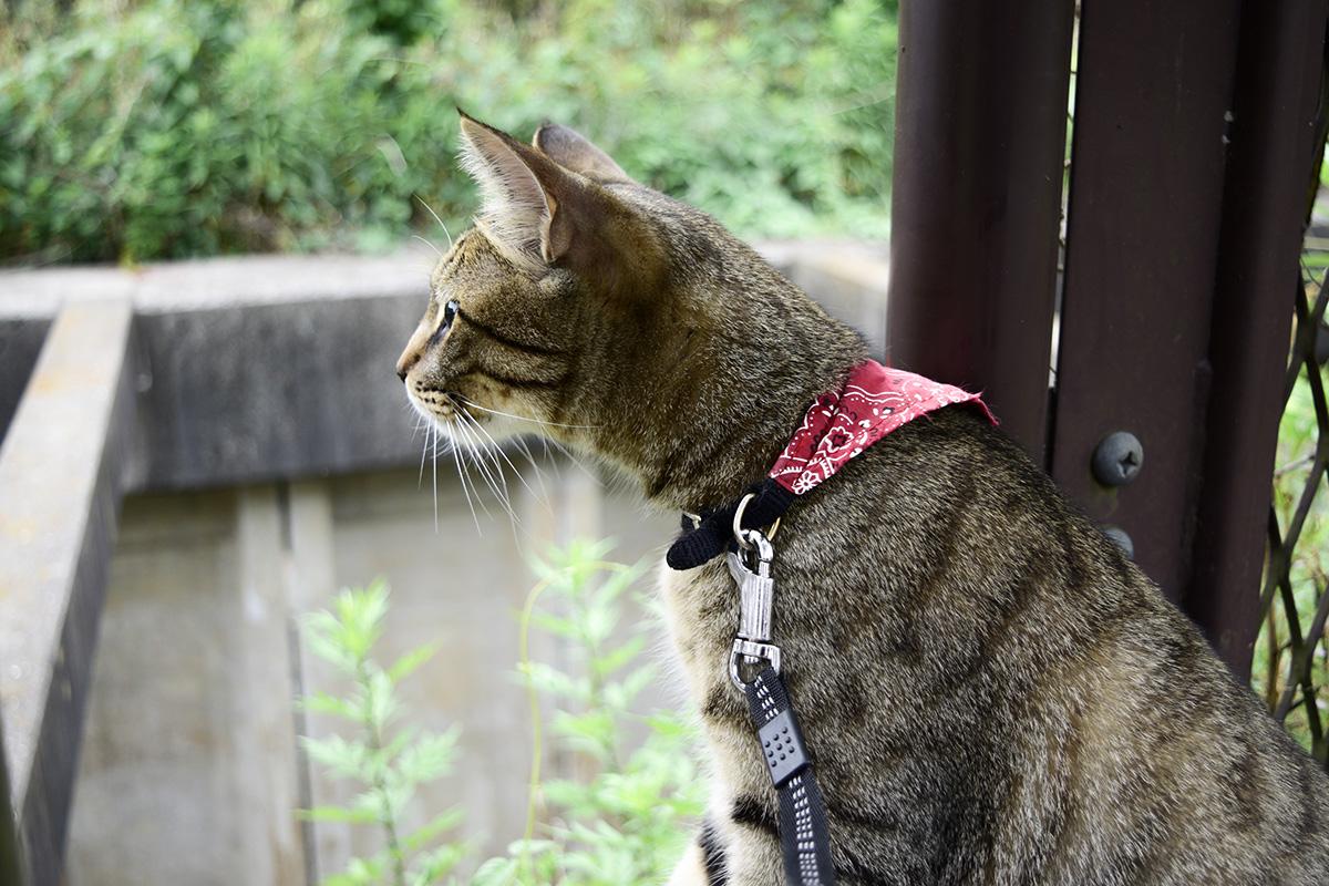 フェンスの終わりをみつけたキジトラ猫の虎ノ介