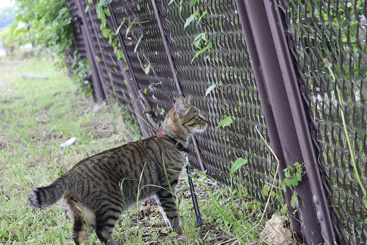 フェンスの向こうを見つめるキジトラ猫の虎ノ介