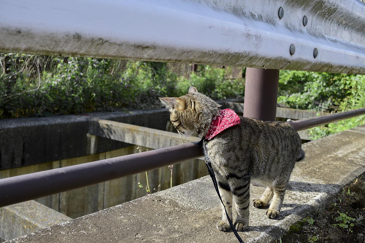 フェンスがない場所で下を見下ろすキジトラ猫の虎ノ介の