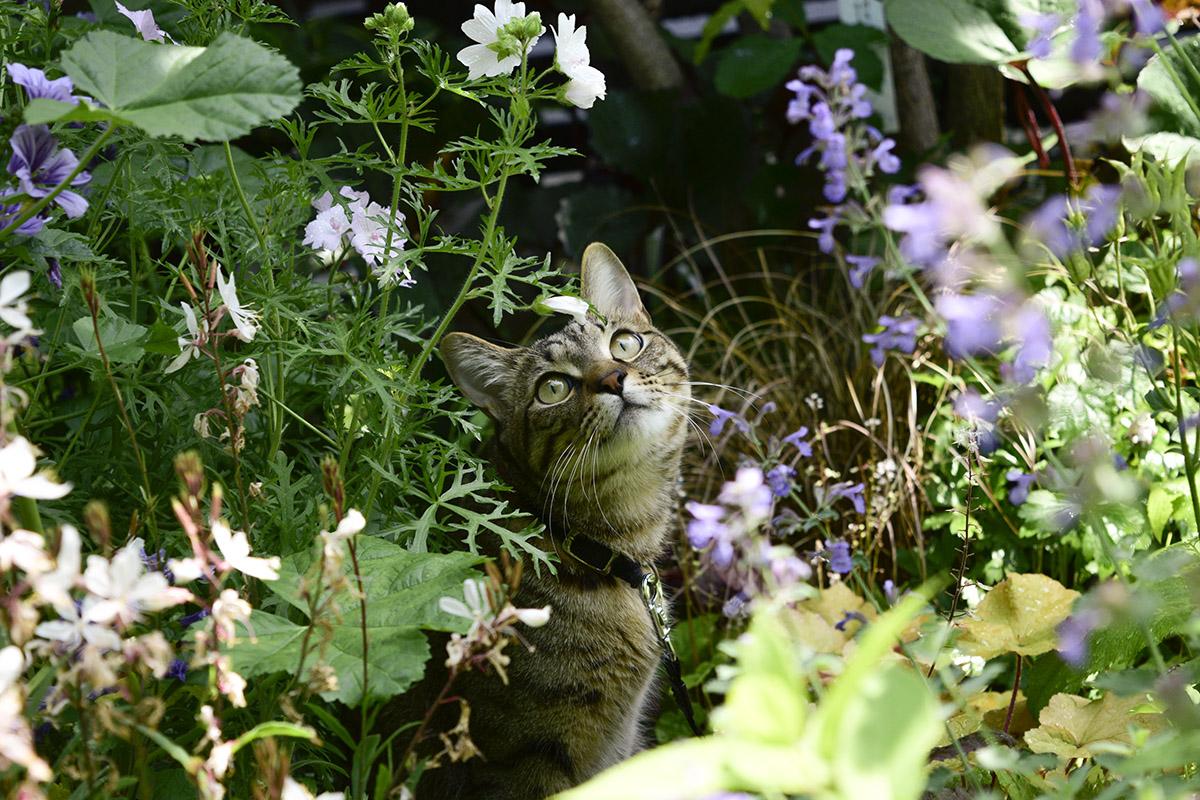 庭で空を見上げるキジトラ猫の虎ノ介
