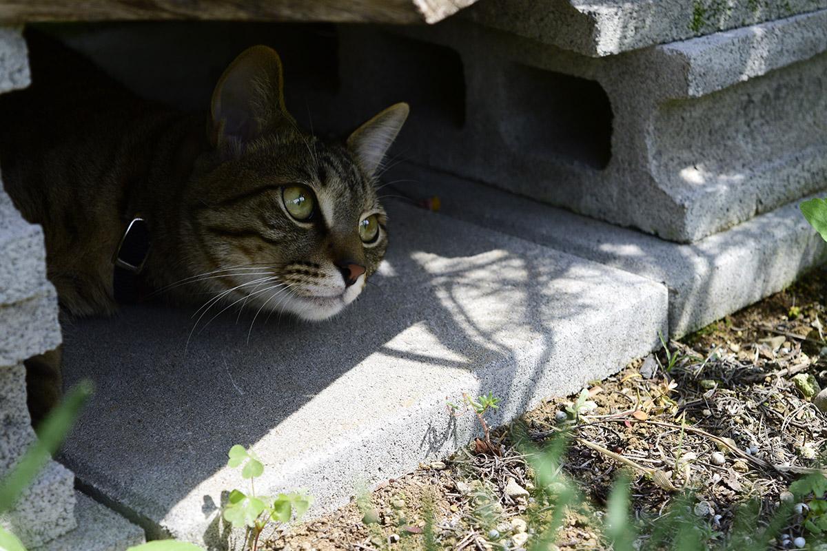 物陰から歩道を覗くキジトラ猫の虎ノ介