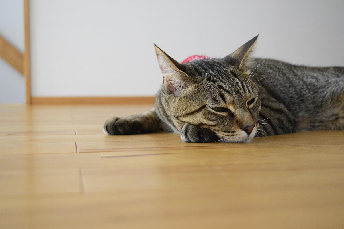 暑くてつまらなそうなキジトラ猫の虎ノ介