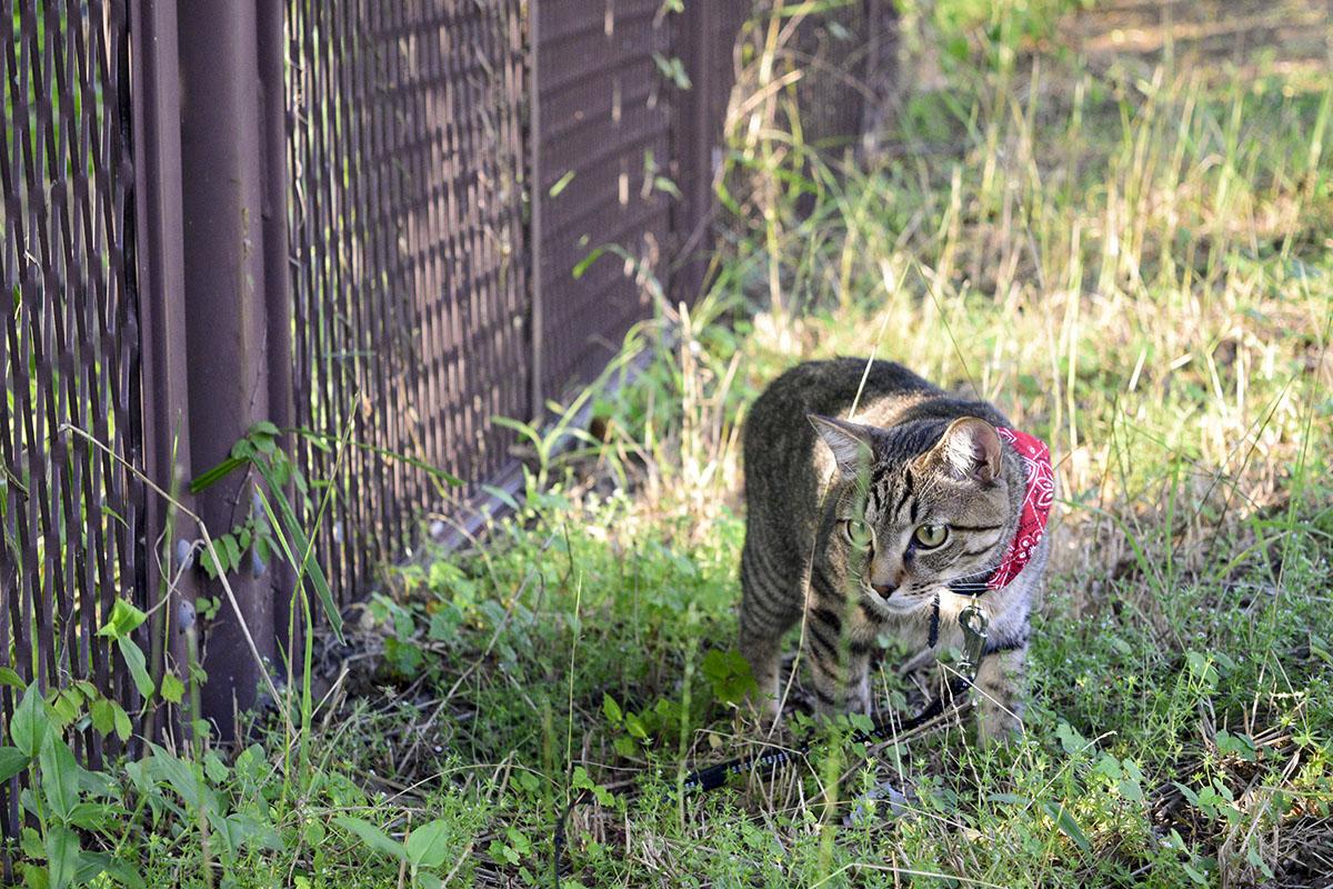草むらを歩くキジトラ猫の虎ノ介