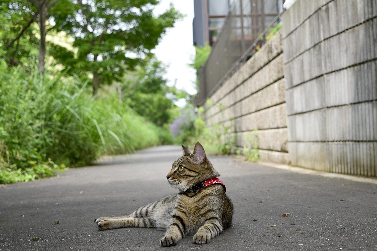 歩道でくつろぐキジトラ猫の虎ノ介