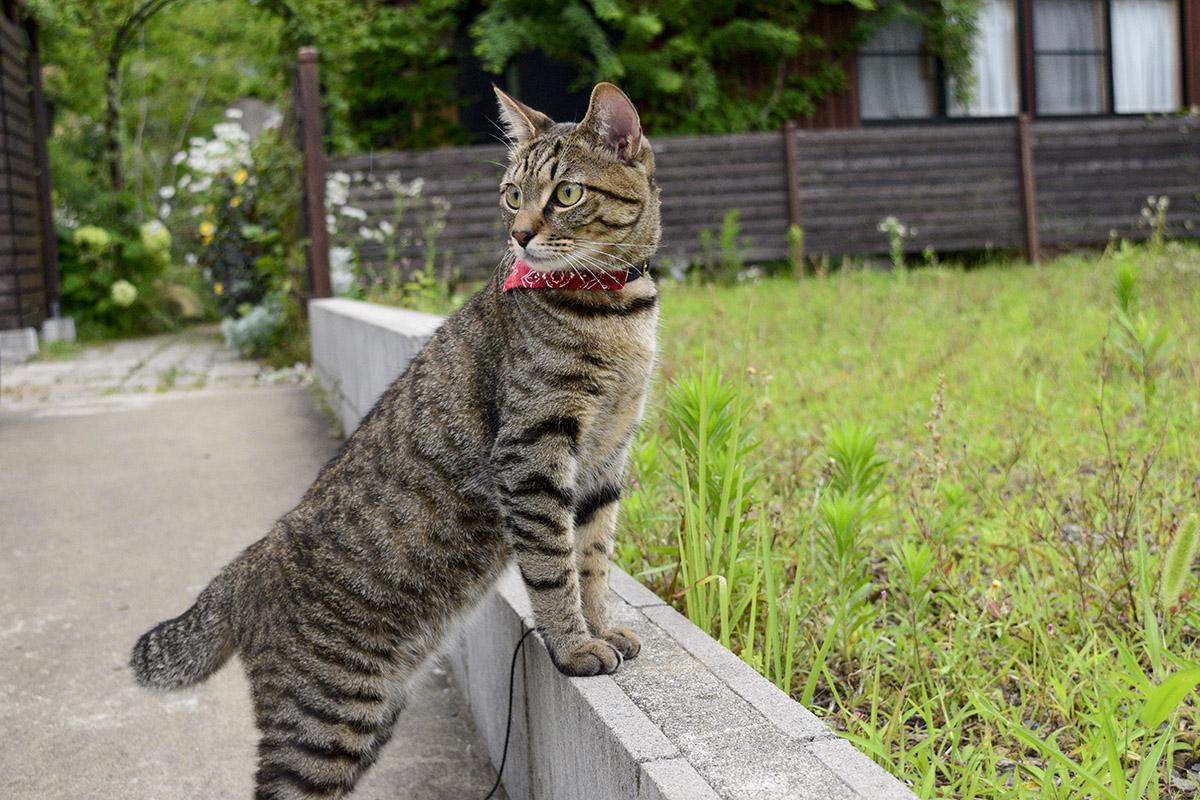 音の出どころを探すキジトラ猫の虎ノ介
