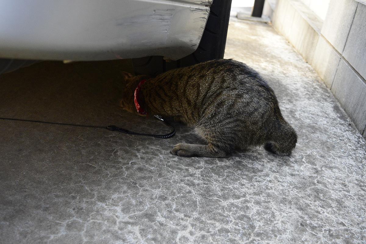 車の下にもぐりこむキジトラ猫の虎ノ介