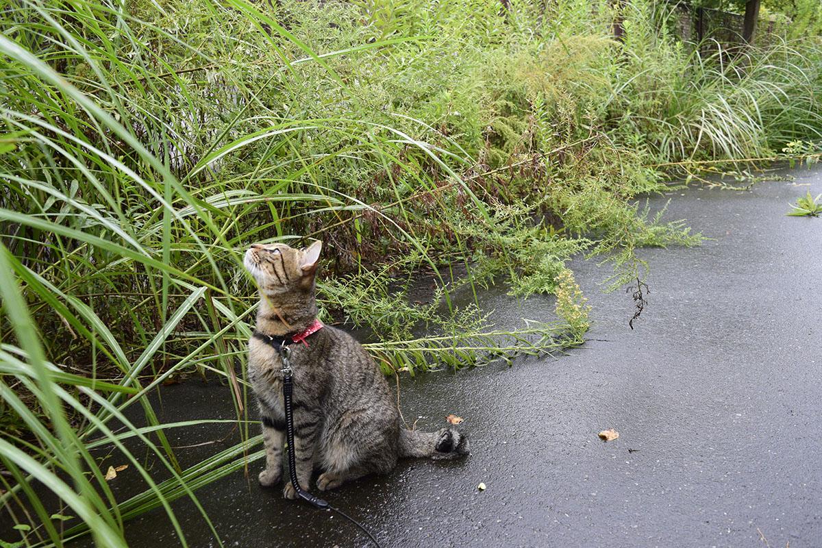 蝉を探すキジトラ猫の虎ノ介