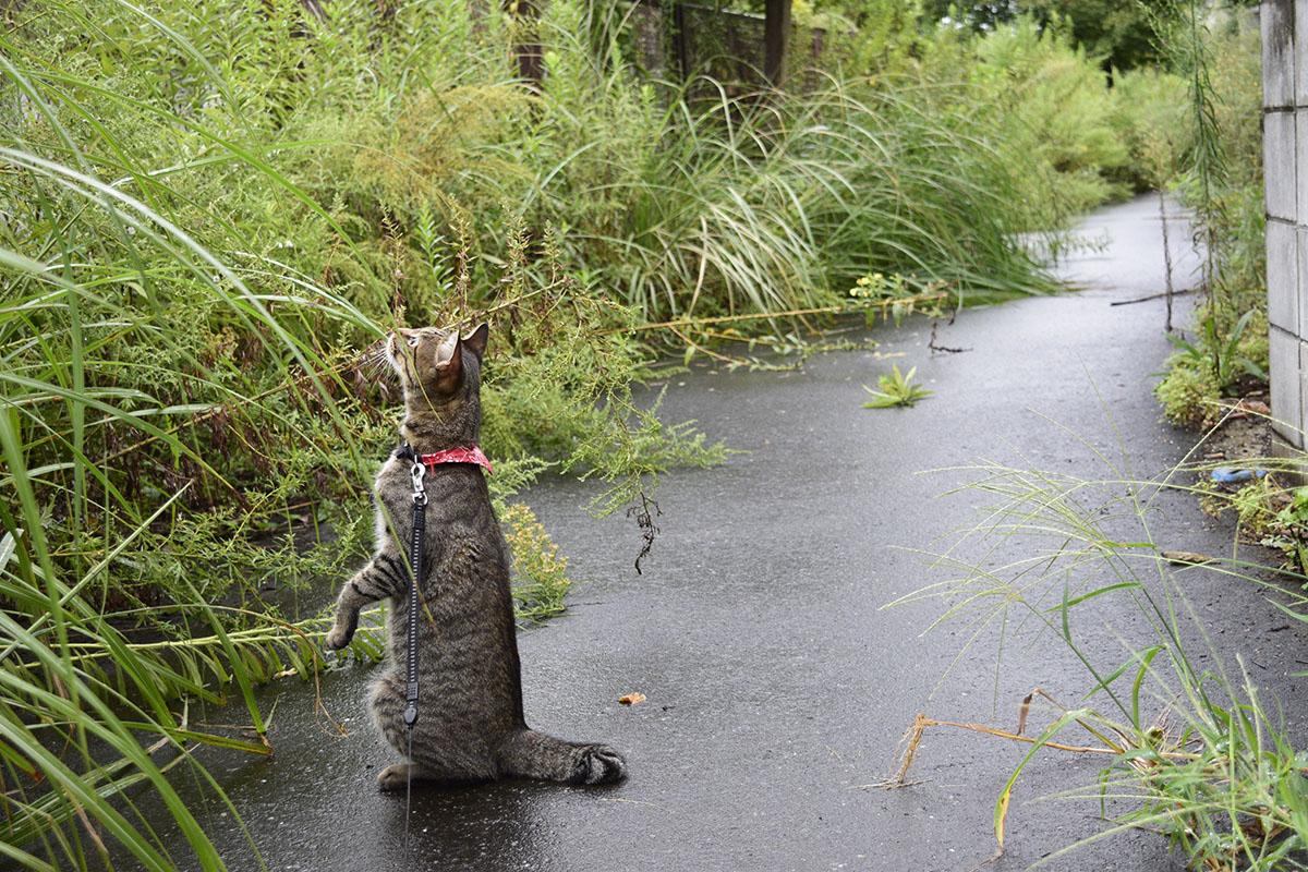 蝉を探して立ち上がるキジトラ猫の虎ノ介
