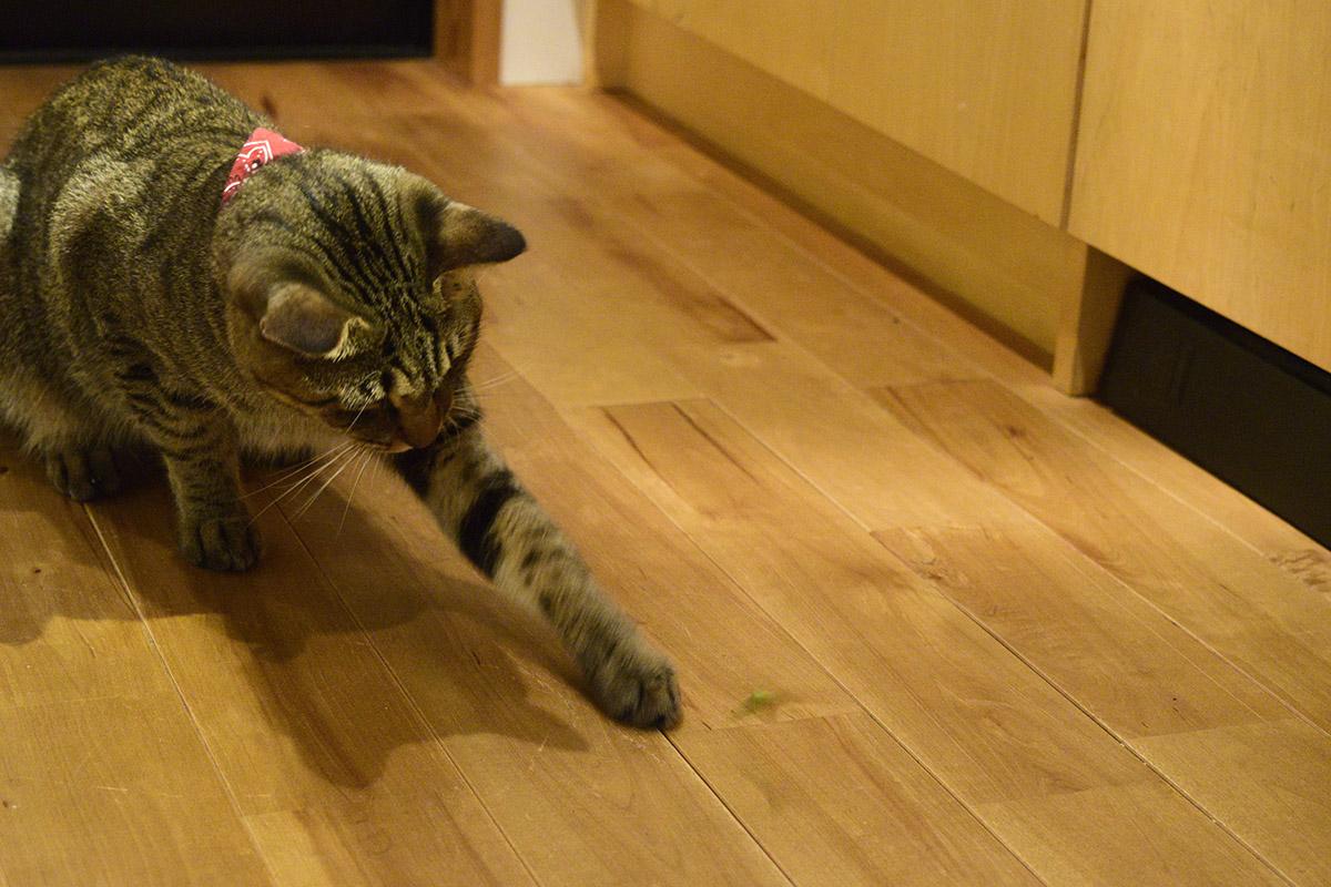 バッタを追いかけるキジトラ猫の虎ノ介