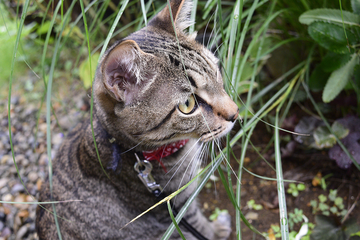 ススキを食べるキジトラ猫の虎ノ介