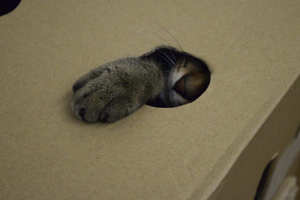 箱から手を出すキジトラ猫の虎ノ介