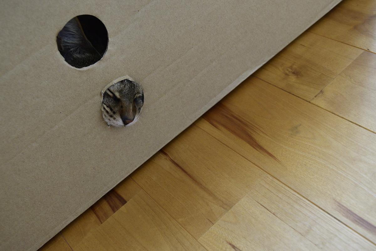 箱をかじるキジトラ猫の虎ノ介