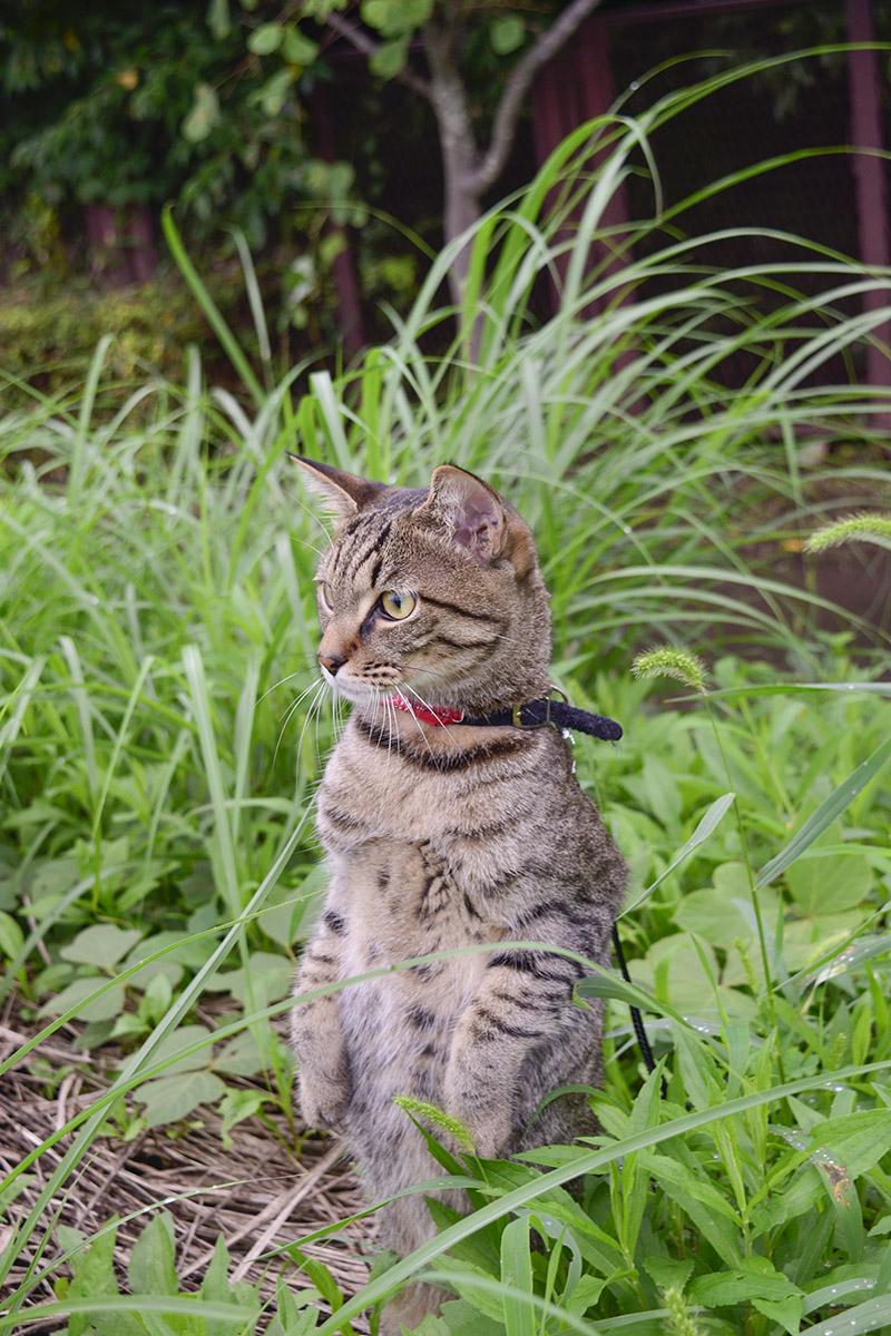 草むらでたつキジトラ猫の虎ノ介