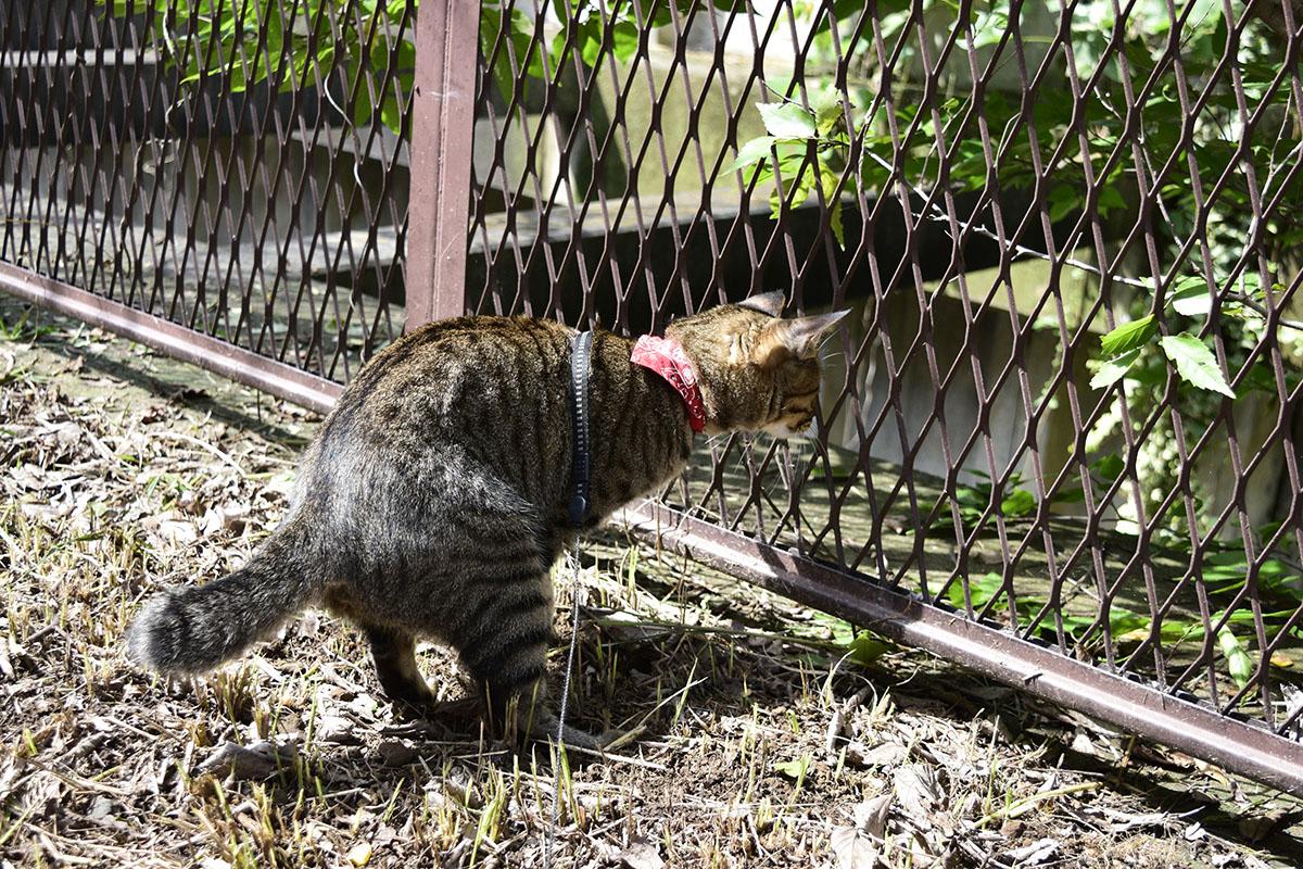 トカゲを発見して前のめりになるキジトラ猫の虎ノ介