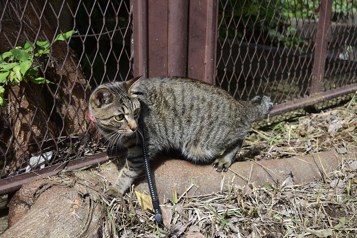 トカゲを見失ってきょろきょろするキジトラ猫の虎ノ介