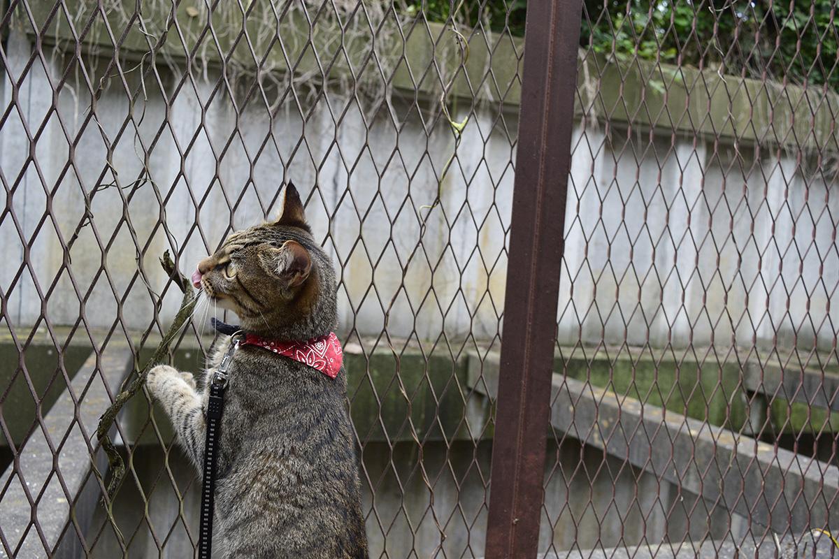 諦めきれずにフェンスにへばりつくキジトラ猫の虎ノ介