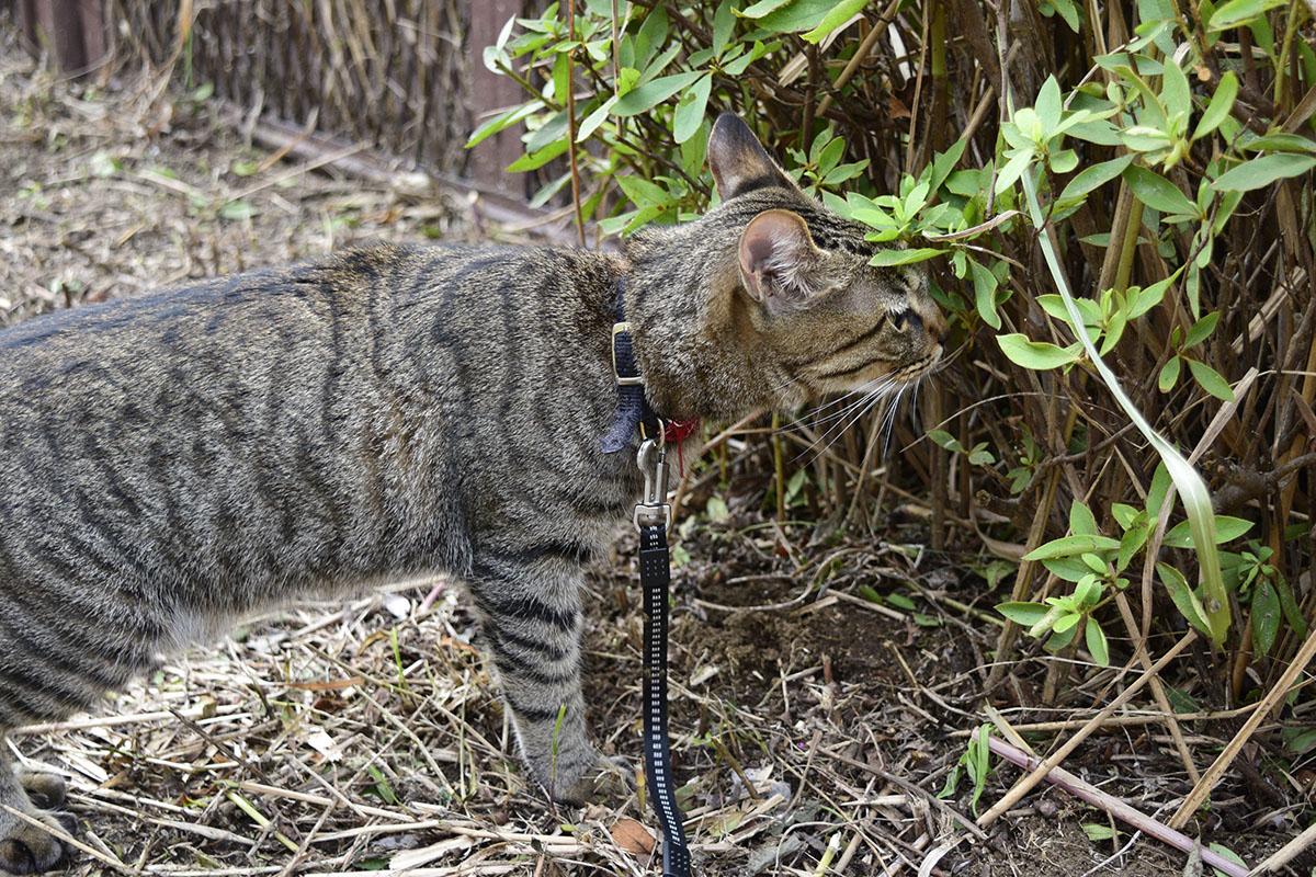 においを嗅ぐキジトラ猫の虎ノ介