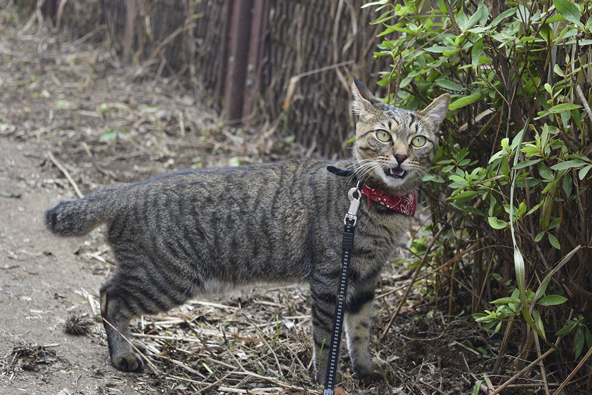 フレーメン反応顔のキジトラ猫の虎ノ介