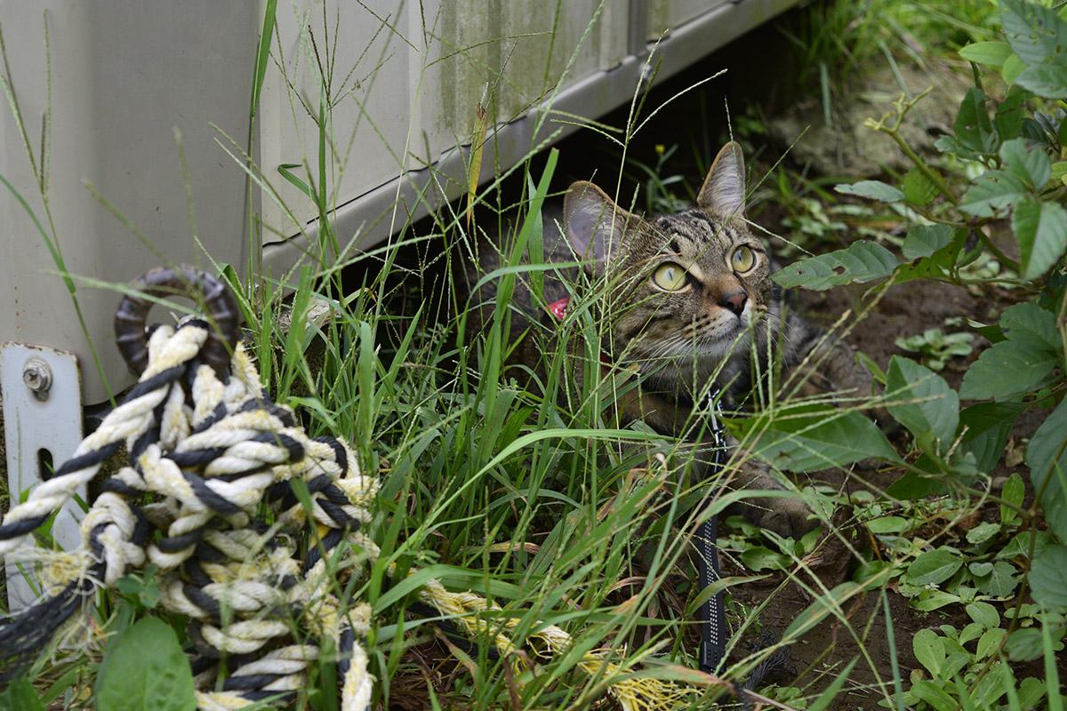 バッタを発見したキジトラ猫の虎ノ介