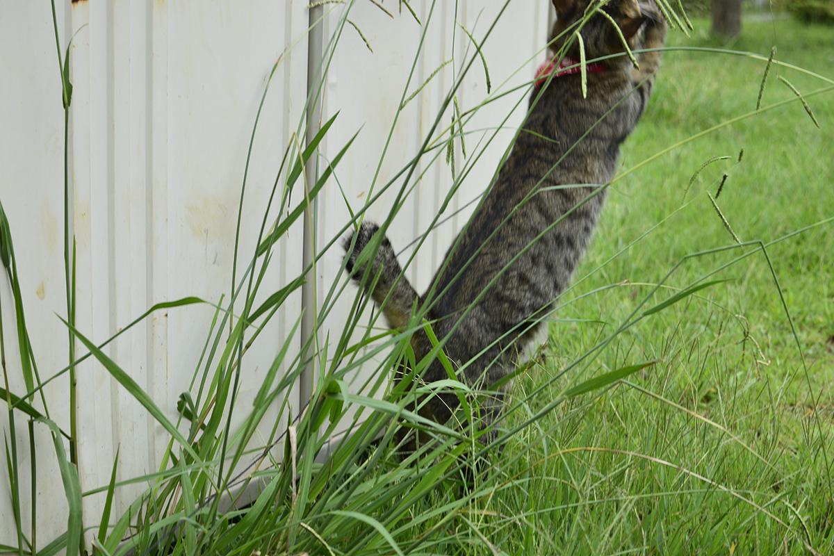 バッタをキャッチするキジトラ猫の虎ノ介