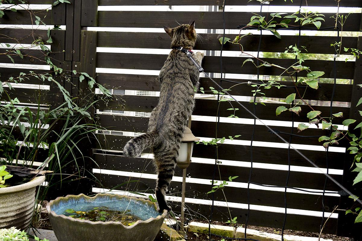 水に落ちても気にしなしキジトラ猫の虎ノ介
