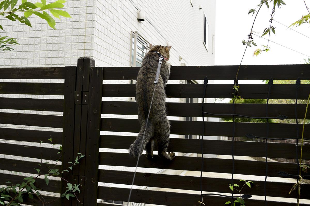 フェンスを乗り越えようとするキジトラ猫の虎ノ介