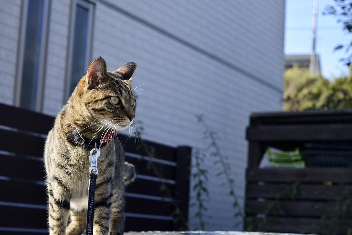 外の空気を満喫するキジトラ猫の虎ノ介