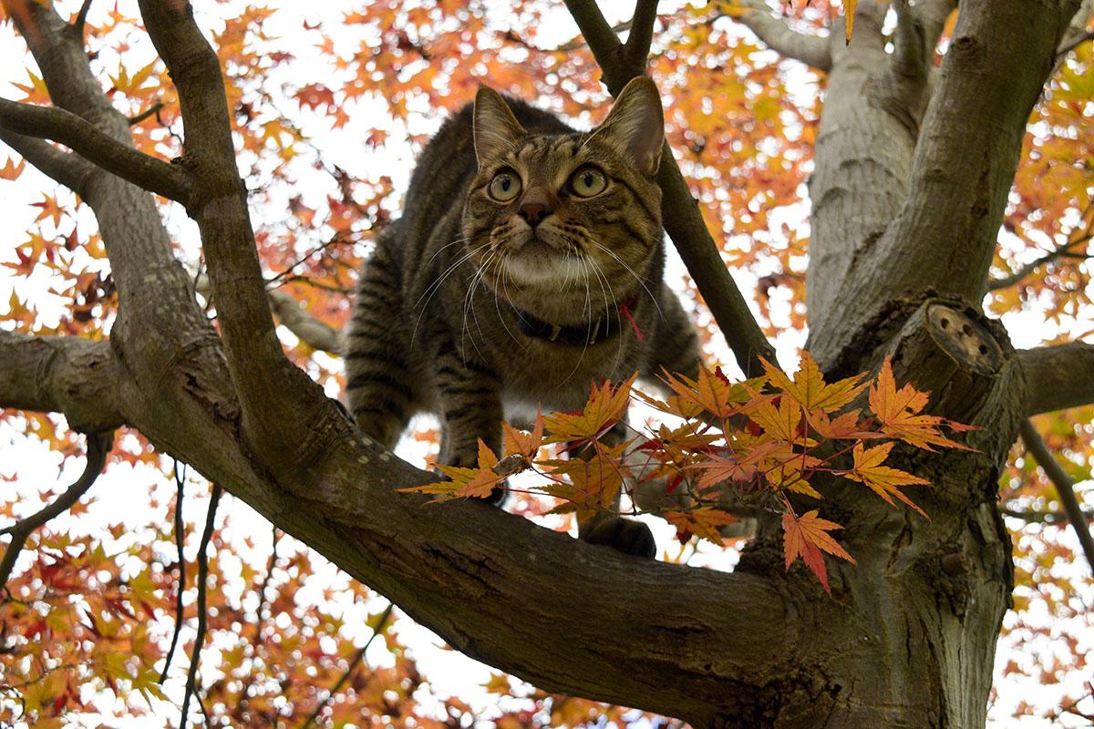 どんどん上に登るキジトラ猫の虎ノ介
