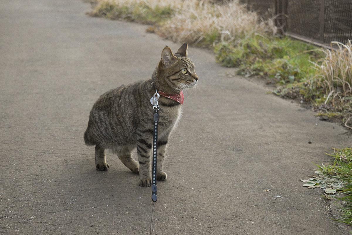 犬が通り過ぎたあとをみつめるキジトラ猫の虎ノ介
