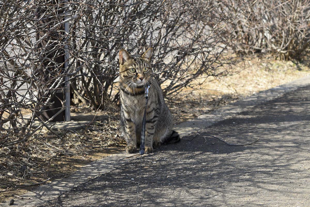 音がきになるキジトラ猫の虎ノ介