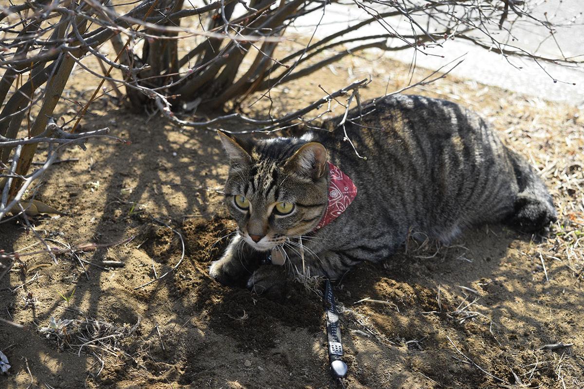 スズメを狙うキジトラ猫の虎ノ介