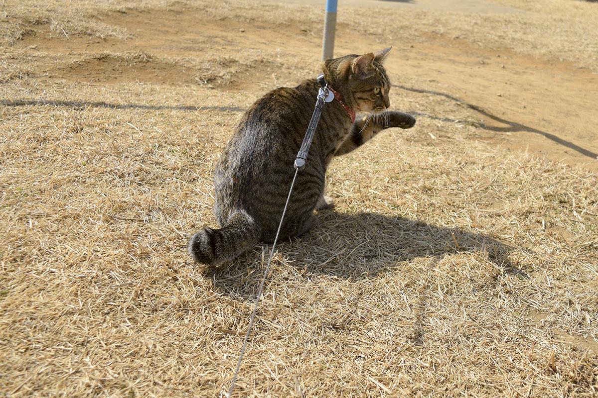 砂まみれになって顔を洗うキジトラ猫の虎ノ介