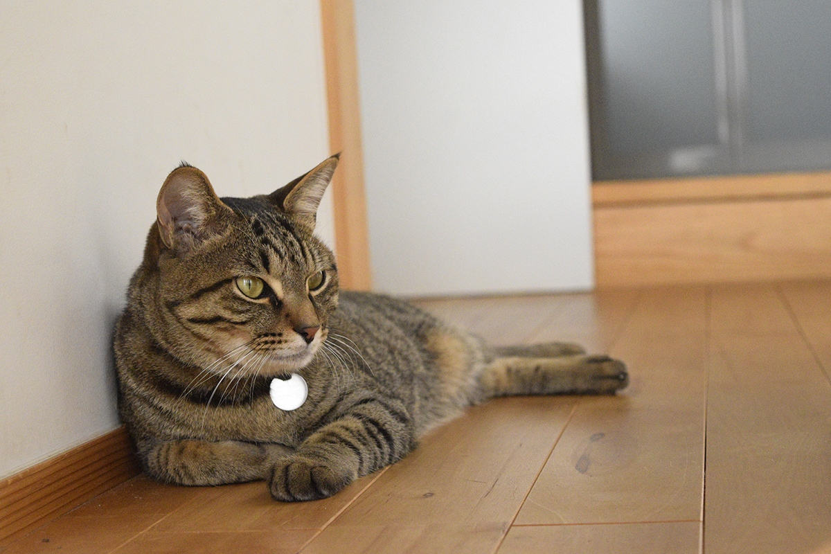家でくつろぐキジトラ猫の虎ノ介